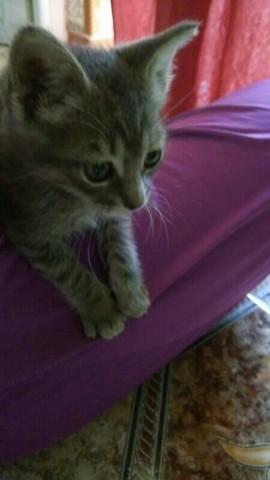 Cathy , A Jamais Dans Mon Coeur, chaton Européen