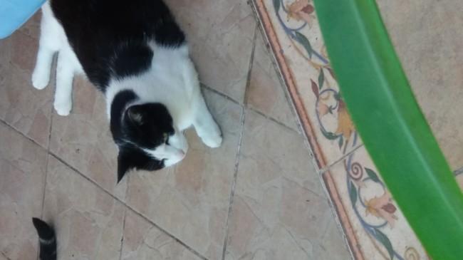 Fifi, chat Européen