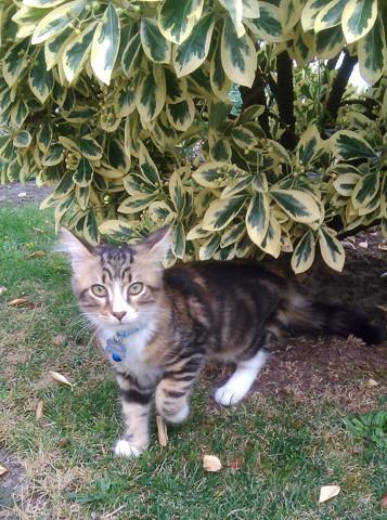 Ulysse, chaton Européen