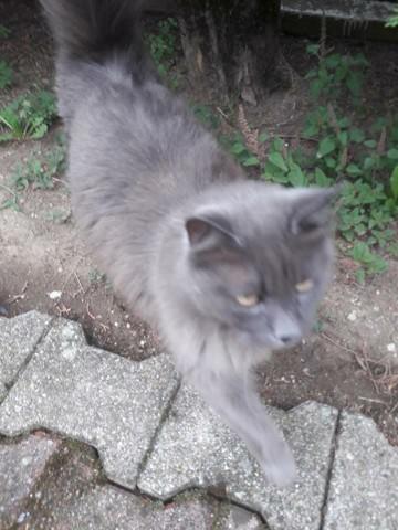 Mayanne, chat Européen