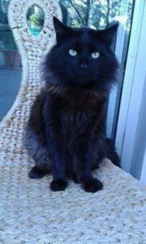 Tazmin, chat Européen