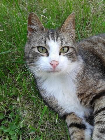 Chaussette, chat Européen