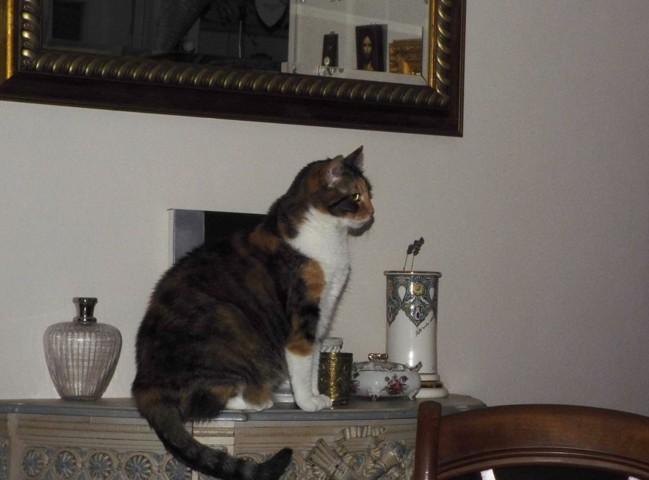 Cybèle, chat Européen