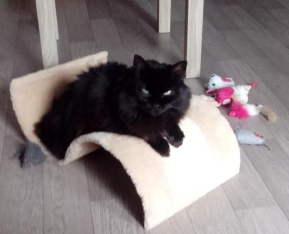 Juliette, chat Européen