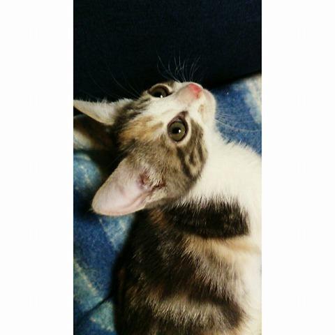 Kiara, chaton Européen