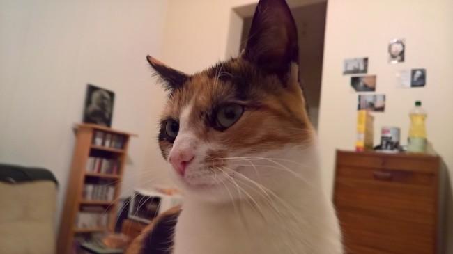 Nadia, chaton Européen