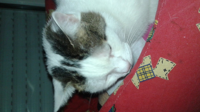 Isabelle, chat Européen
