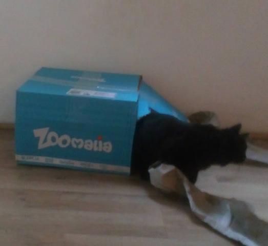 Lilou, chaton Européen