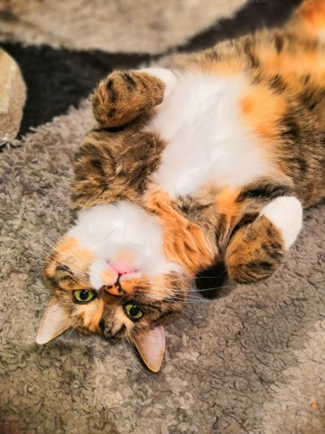 Freyja, chat Européen