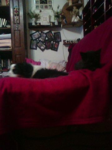 Mi-Août, chat Européen