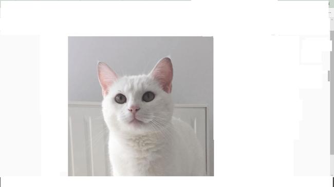 Pépito, chat Européen