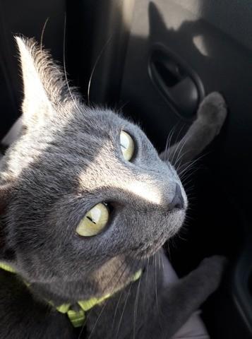 Odessa, chat Européen