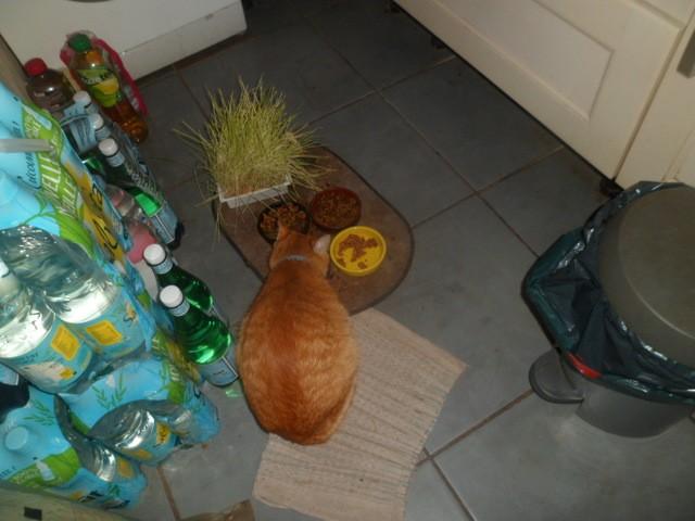 Pollux, chat Européen