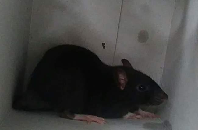 Fabulus, rongeur Rat