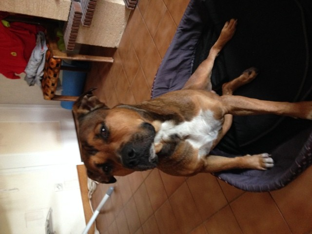 Falcor, chien Staffordshire Bull Terrier