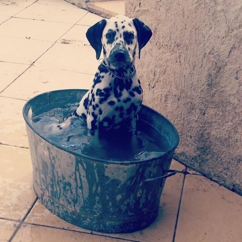 Fantasia, chien Dalmatien