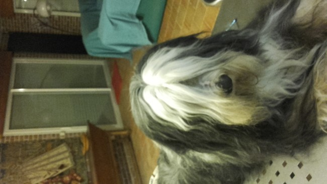 Faramir, chien Bearded Collie