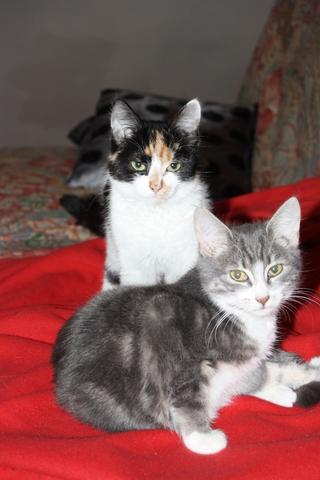 Farine, chat Européen