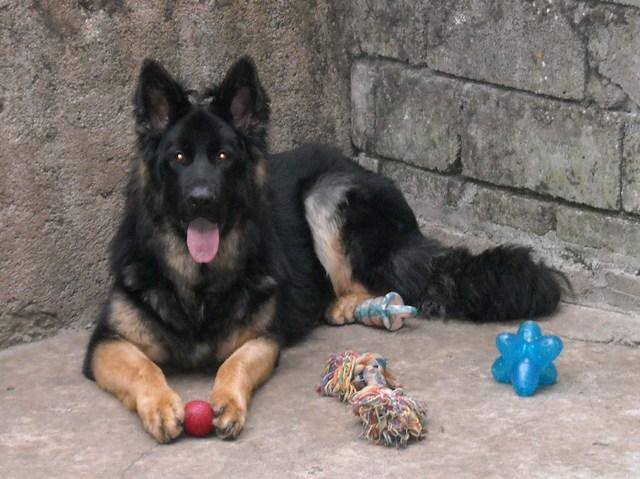 Faruk, chien Berger allemand