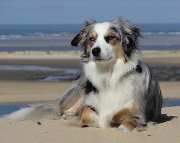 Faya, chien Berger australien