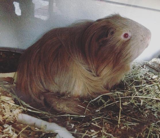 Ferme Ta Gueule, rongeur Cochon d'Inde