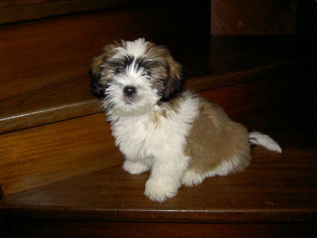 Fidgi, chien Lhassa Apso