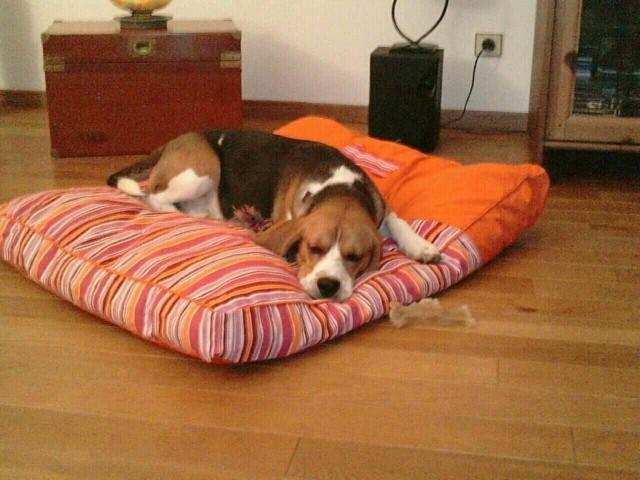 Fidji, chien Beagle