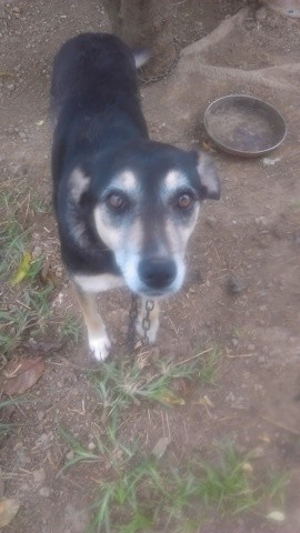 Fifi, chien Labrador Retriever