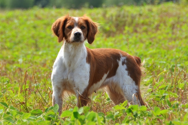 Filiou, chien Épagneul breton