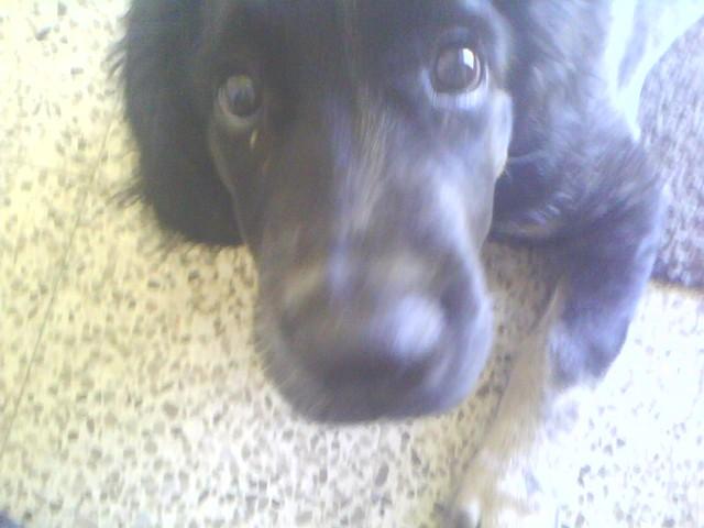 Filou, chien Setter Gordon