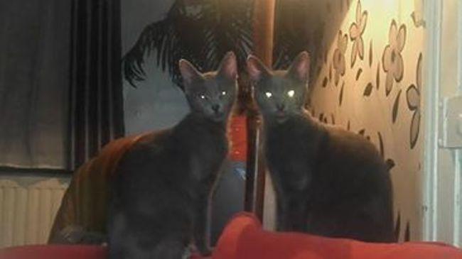 Filousse Et Grise, chat Chartreux