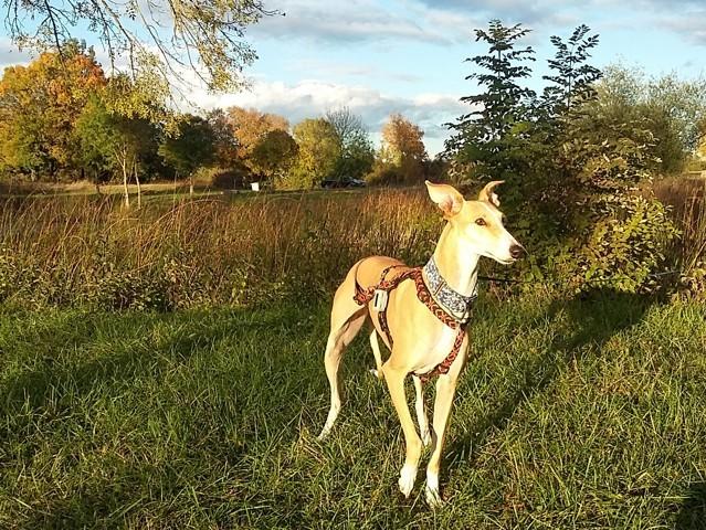 Fina, chien Lévrier espagnol