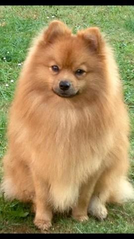 Flash, chien Spitz allemand