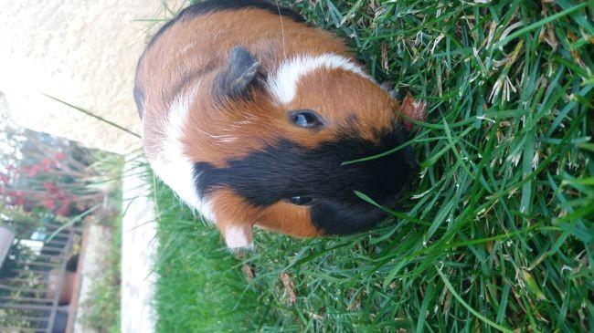 Flash, rongeur Cochon d'Inde