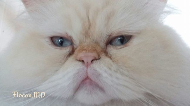 Flocon, chat Persan