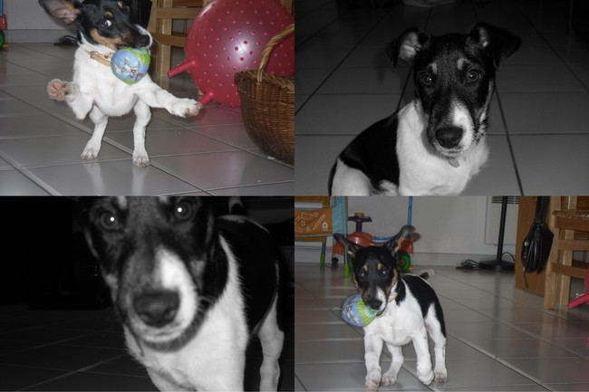 Floppy, chien Jack Russell Terrier
