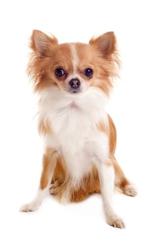 Flora, chien Chihuahua