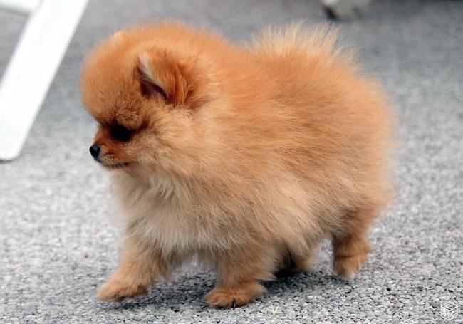 Florette, chien Spitz allemand