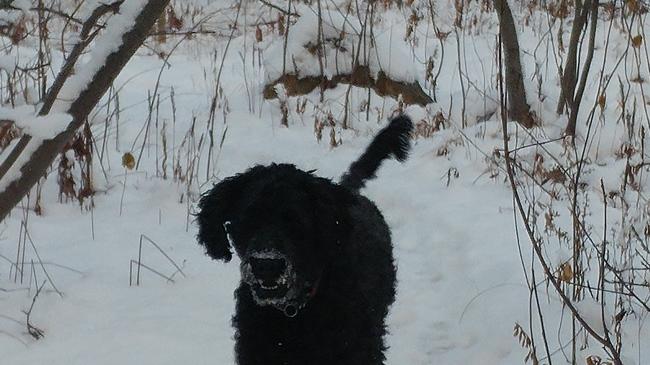 Frank, chien Barbet