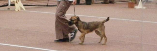 Frimousse, chien Border Terrier