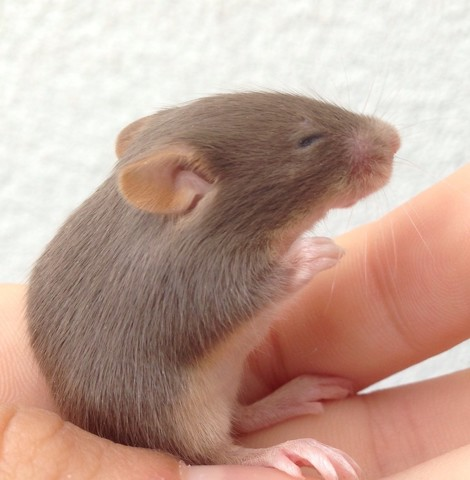 Malice, rongeur Souris