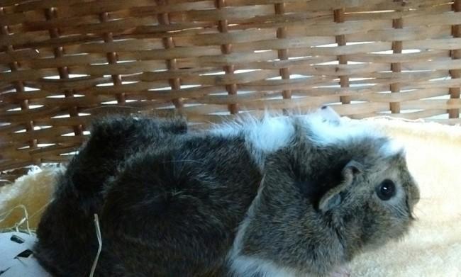 Nesty, rongeur Cochon d'Inde