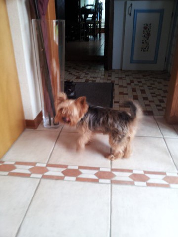 Funny, chien Yorkshire Terrier