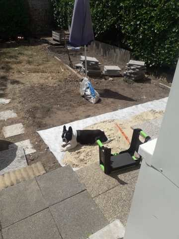 Gaia, chien Bouledogue français