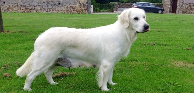 Galak, chien Golden Retriever