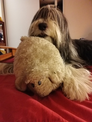 Galice, chien Bearded Collie