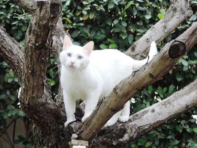 Galinette, chat Européen