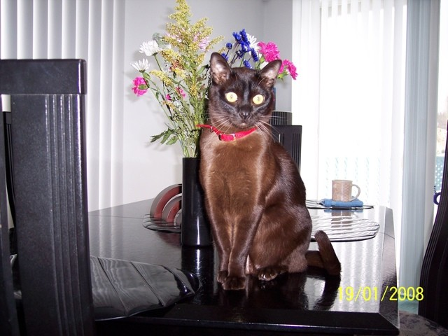 Garçon, chat Burmese