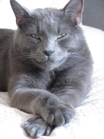 Garfield, chat Bleu russe