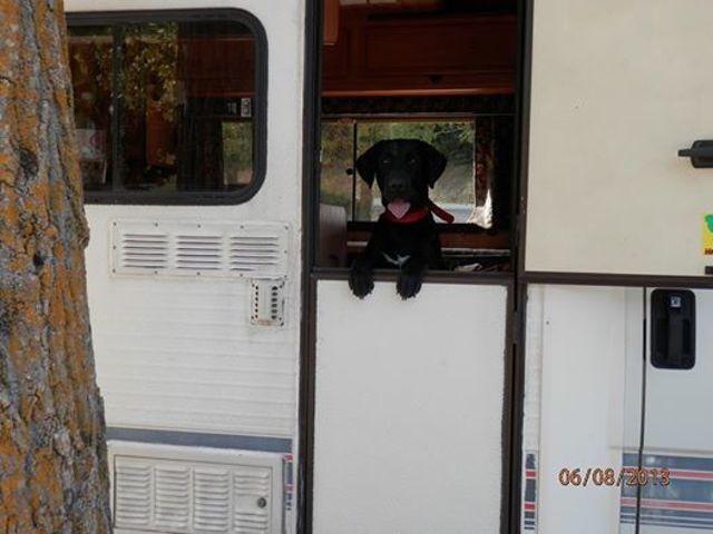 Gary, Labrador Retriever